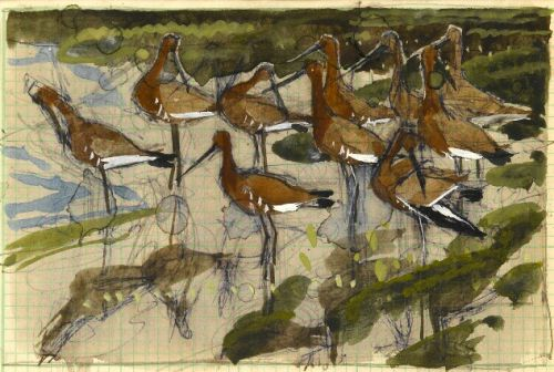 Black-tailed Godwits -